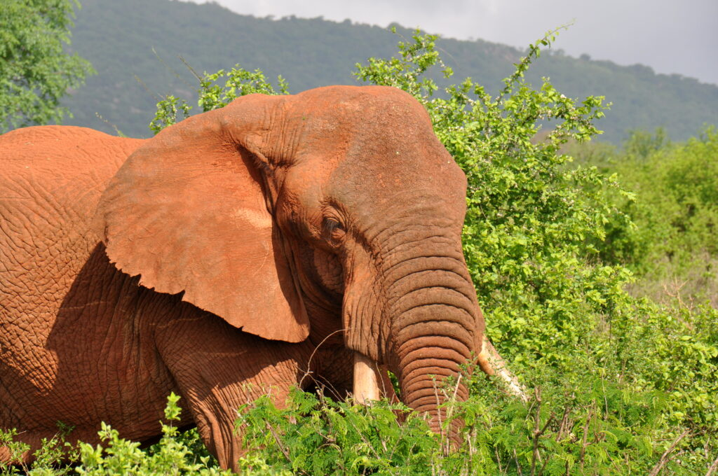 Reizen Van Laere Kenia safari