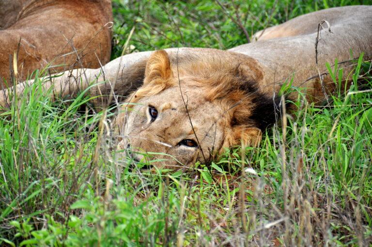 Reizen Van Laere - Kenia Safari