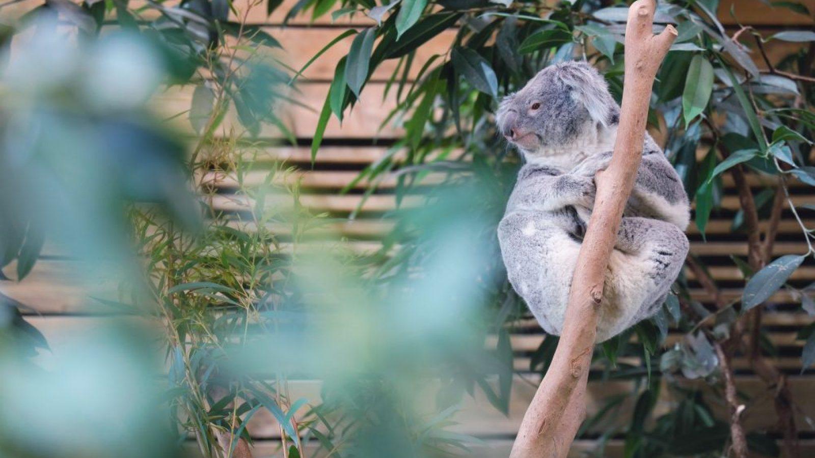 pairi daiza koala